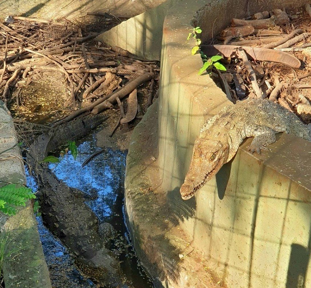 Cocodrilos zoológicos